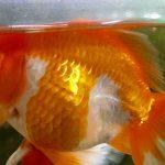 金魚が餌を食べると浮くのは病気?原因と治療方法