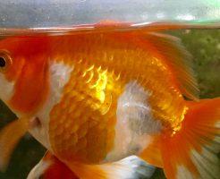 金魚 餌 食後 浮く
