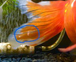 ツリガネムシ病 白い点 尾びれ エピスティリス症