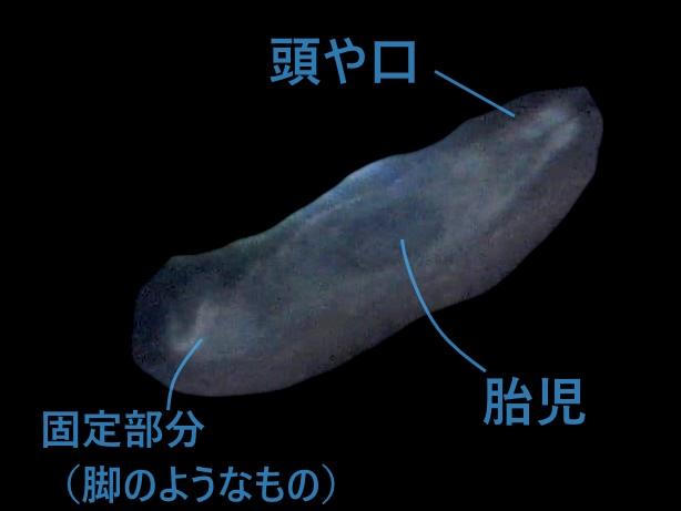 ギロダクチルス