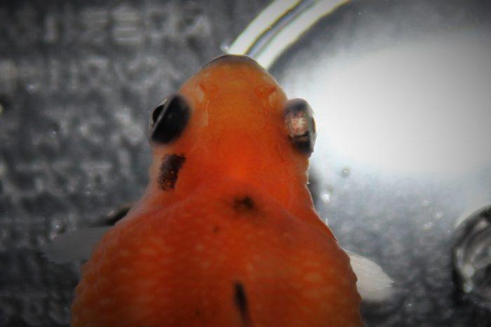 ポップアイ 金魚