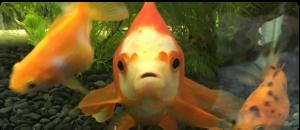 金魚どっとこむ