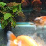 金魚におすすめの水草を紹介!水草の効果と必要性について