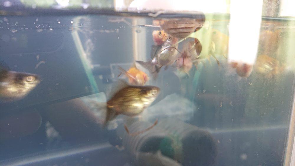 稚魚 赤虫