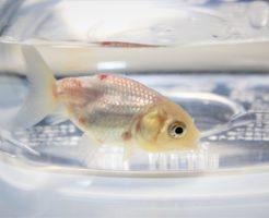 赤班病 金魚