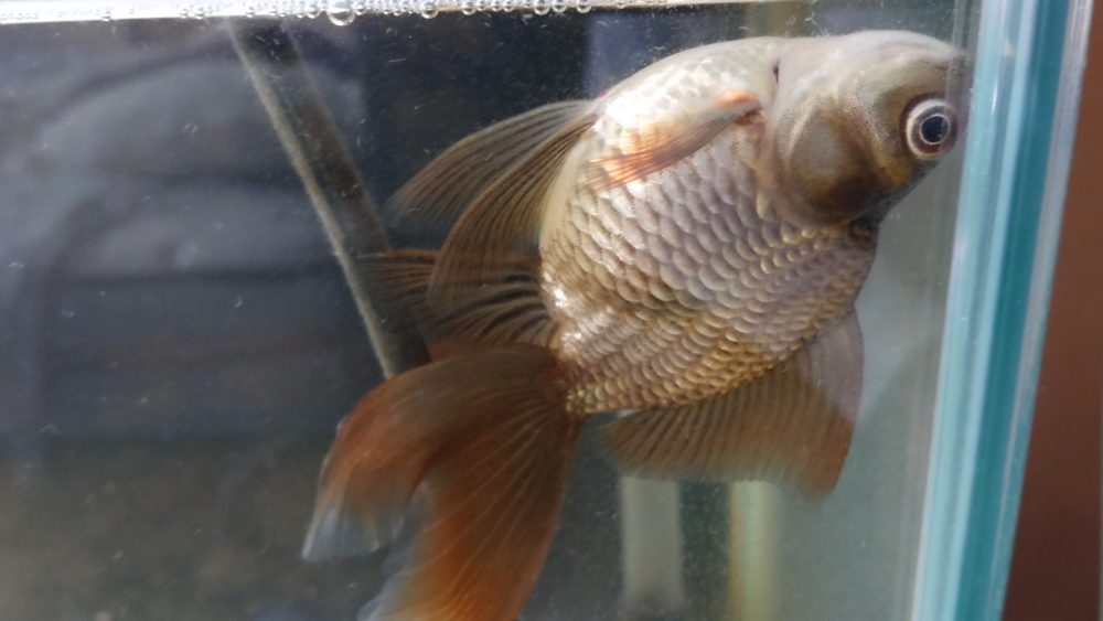 転覆病の金魚
